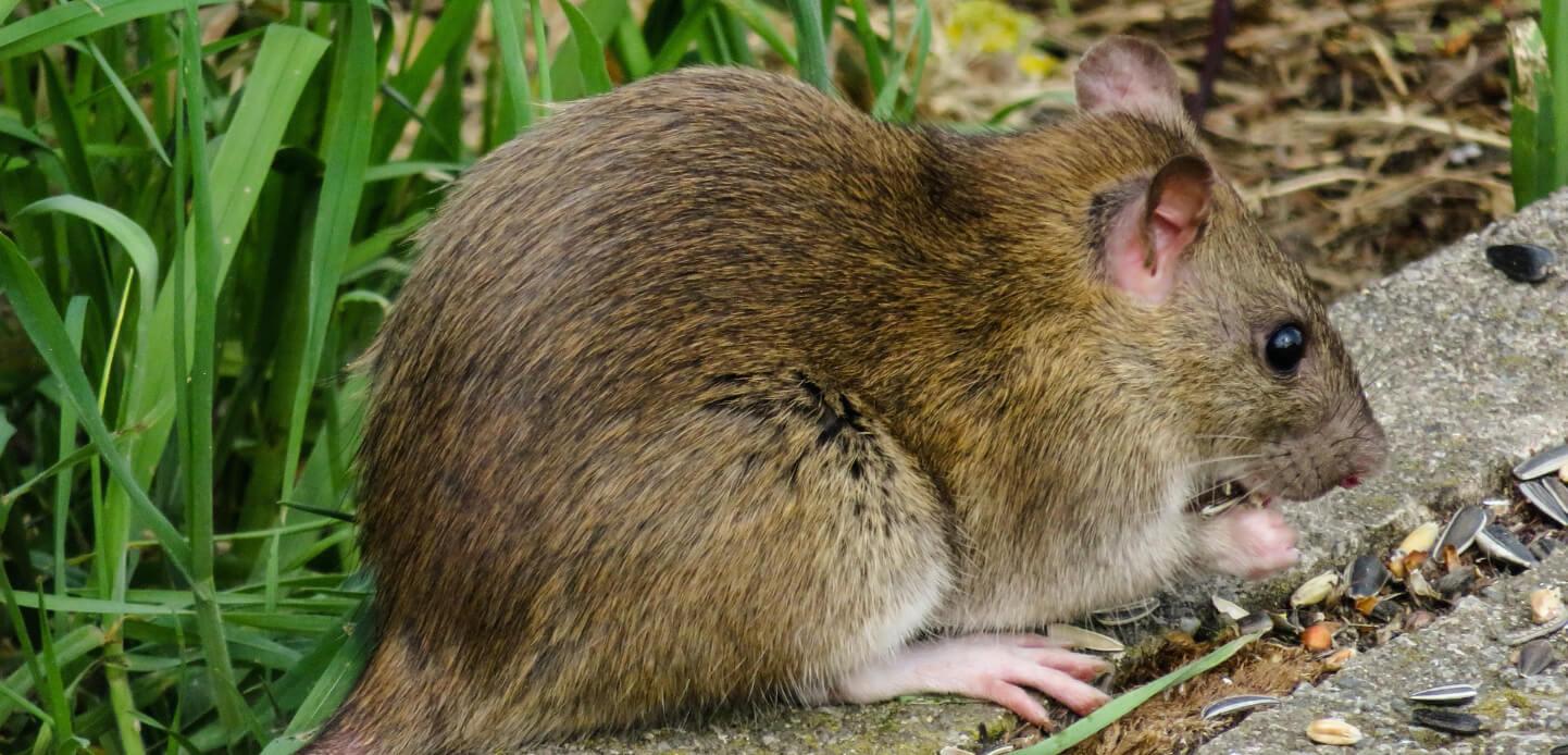 ネズミ駆除とその費用について