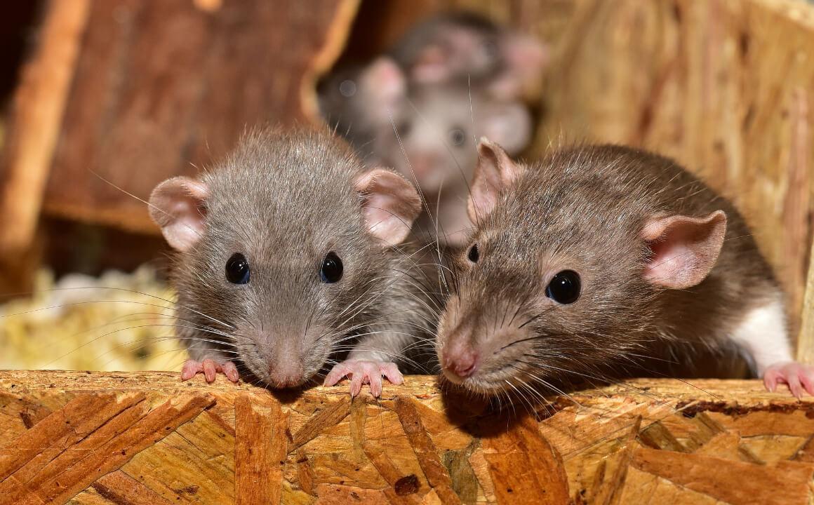 ネズミの特徴