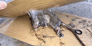 大阪市淀川区でネズミを駆除