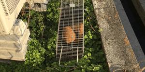 豊中市でアライグマを駆除