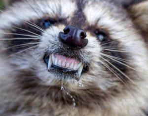 アライグマの脅威とは?狂犬病のリスクについて