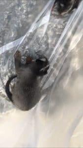 ハクビシンの赤ちゃん捕獲!在宅で気付いた天井裏の異変…