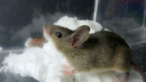 ネズミは冬眠しない?冬に起きる2つの被害と対策方法とは?