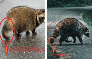 アライグマの生態について解説(20年完全版)