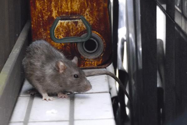 ネズミの生態