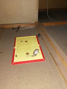 桑名市|ネズミ&コウモリ駆除