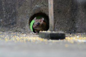 <ドブネズミ被害件数32.3%も増加>被害抑制に向けてより組み開始